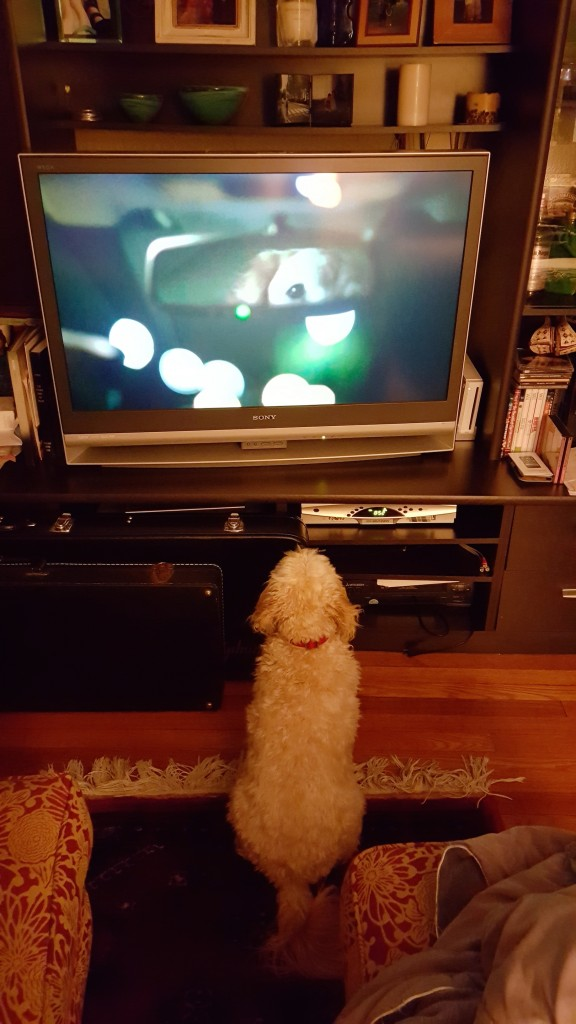 Butterscotch watches Puppy Bowl